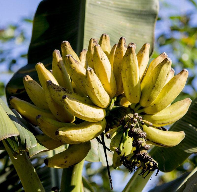 Adubo para banana
